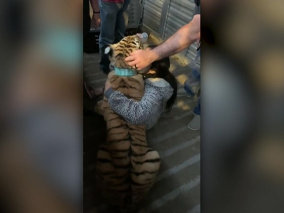 Police: Missing Texas tiger has been found safe, healthy