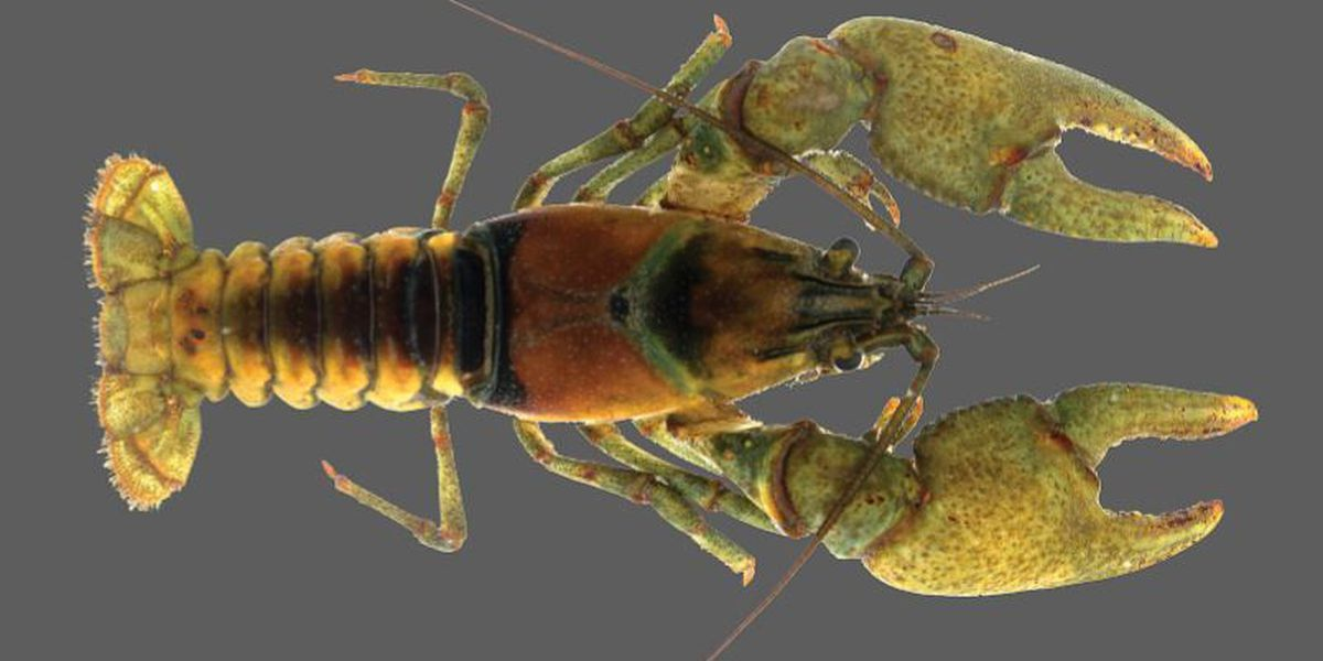 Two new freshwater crayfish species found