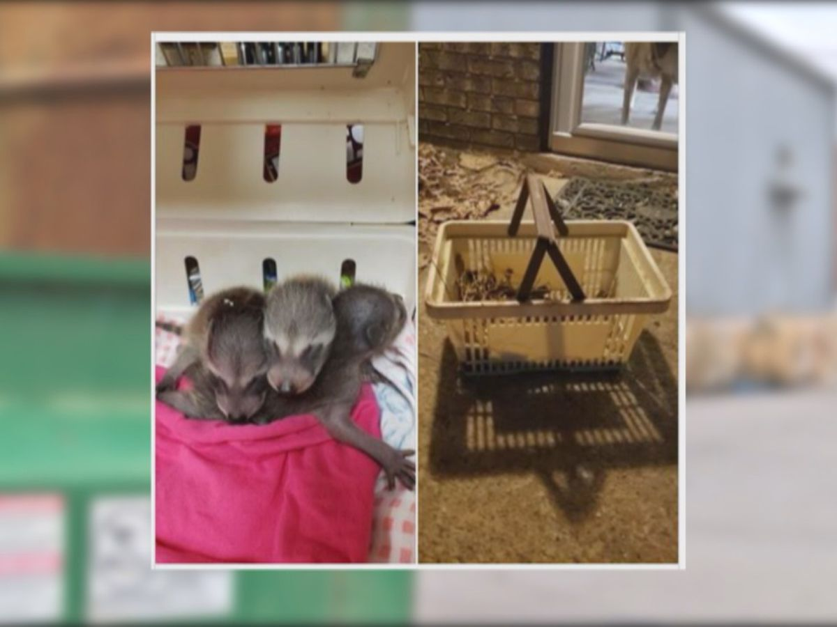 Reward offered after baby raccoons found in Cabot dumpster