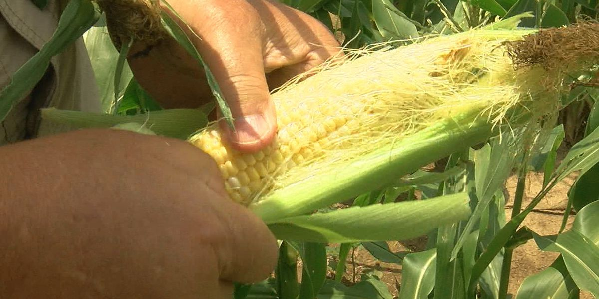 Tyronza community corn patch offers free corn to residents