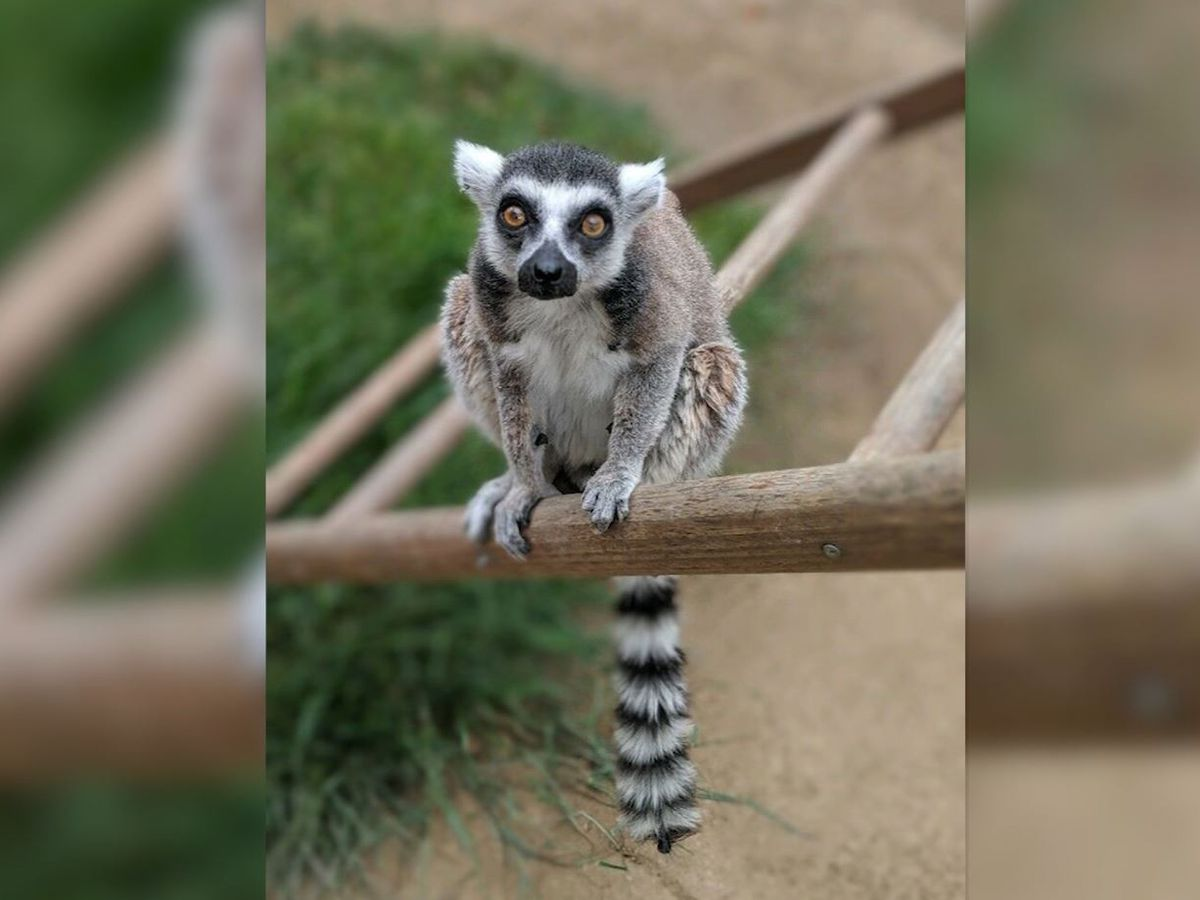 Man pleads guilty to taking lemur from California zoo
