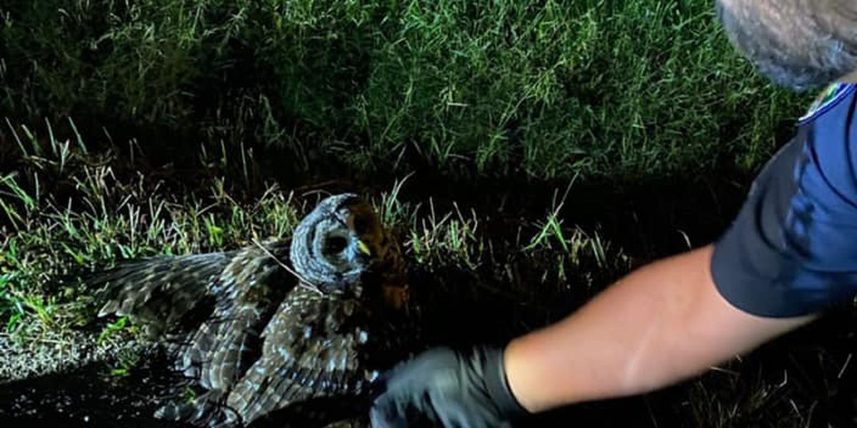 Poplar Bluff Police Officers rescue distressed owl