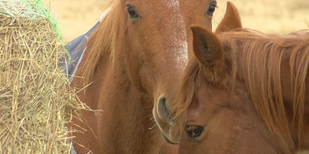 Horse abuse cases are up, officials say