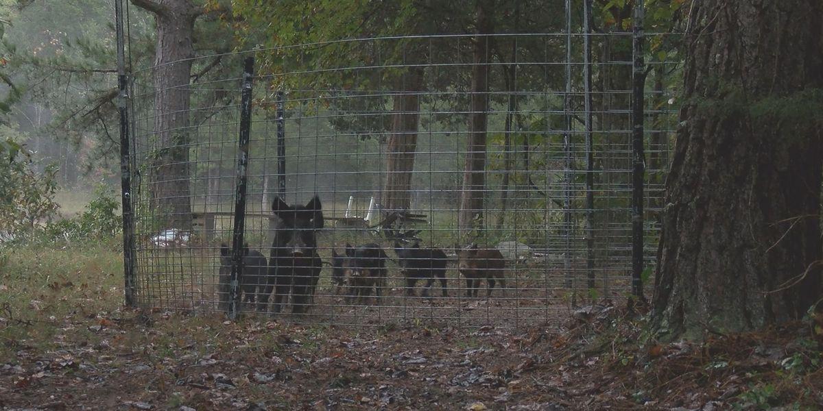 Big southeast Missouri landowner to ban feral hog hunting