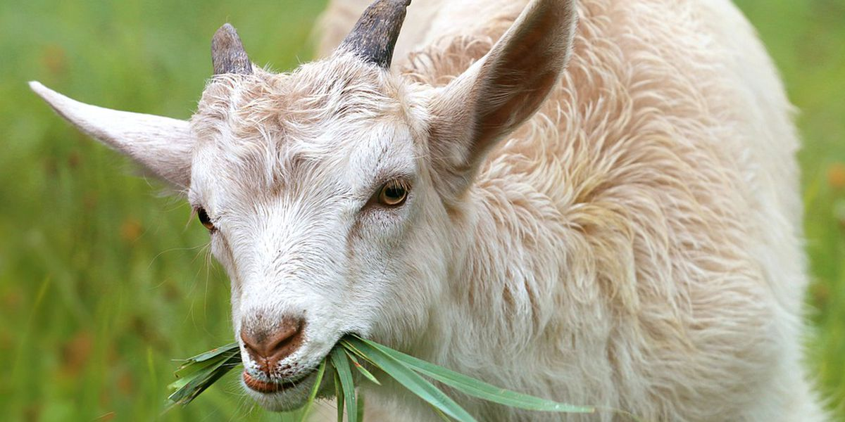 St. Louis business rents goats to eat overgrown foilage