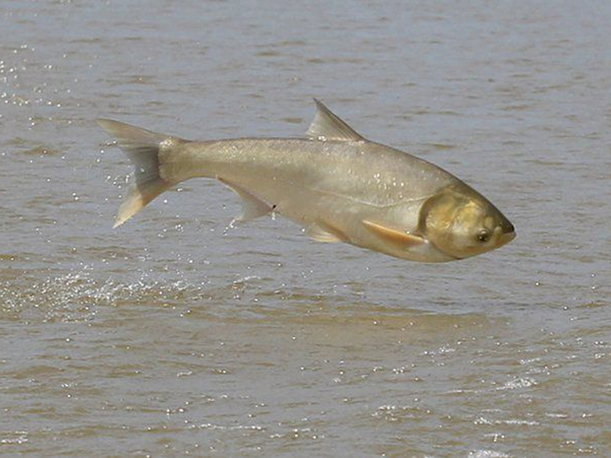 Arkansas fighting Asian carp with angler awareness, baitfish regulations