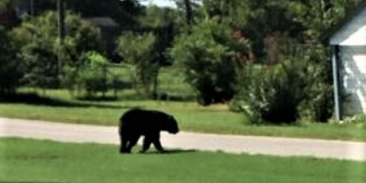 Bear on quest for love spotted in Northeast Arkansas