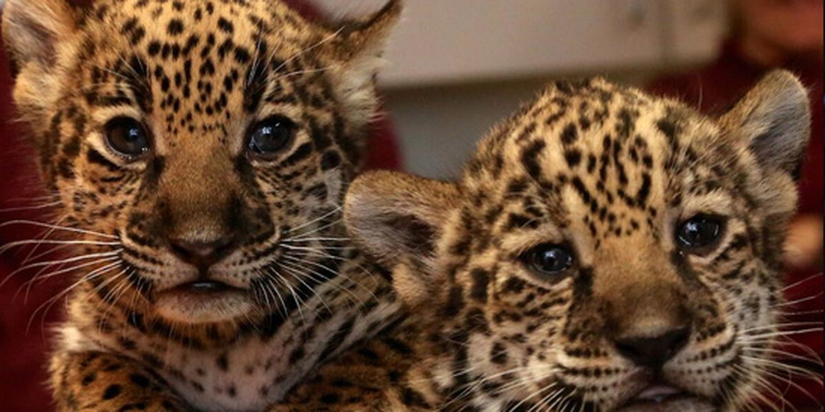 Memphis Zoo announces birth of jaguar cubs