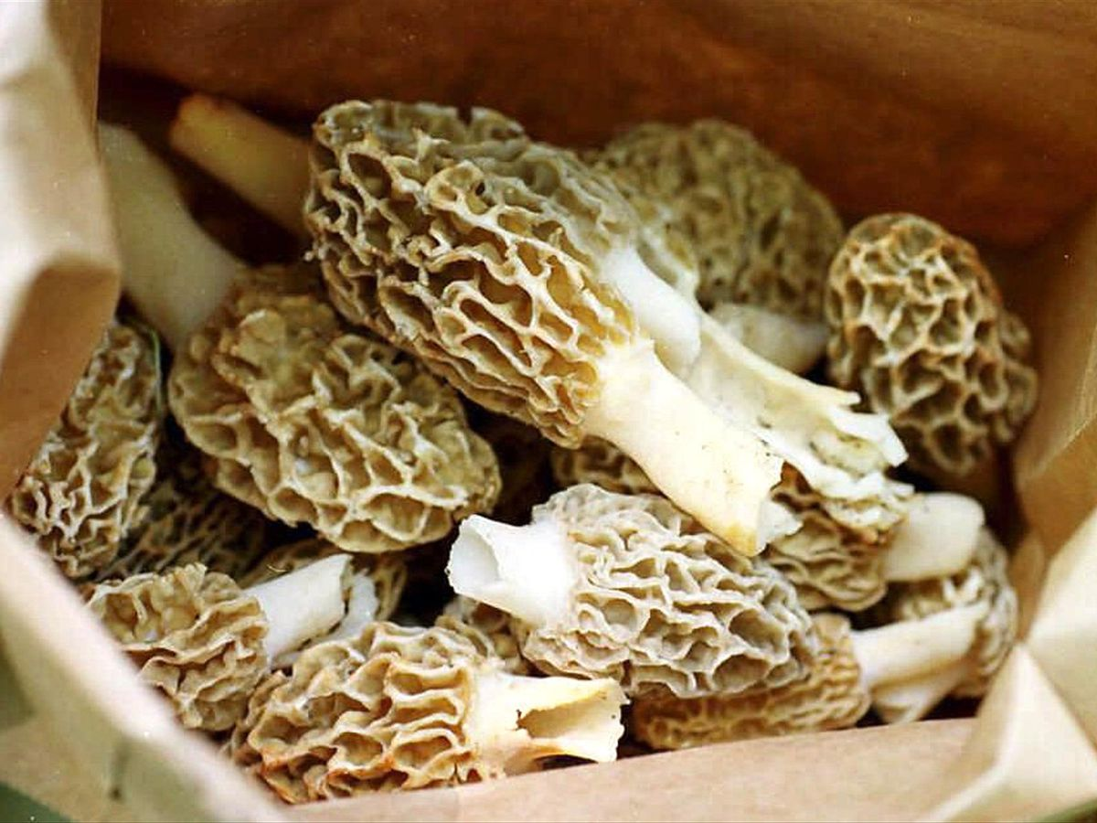 Morel mushroom lovers in Missouri could luck out this spring