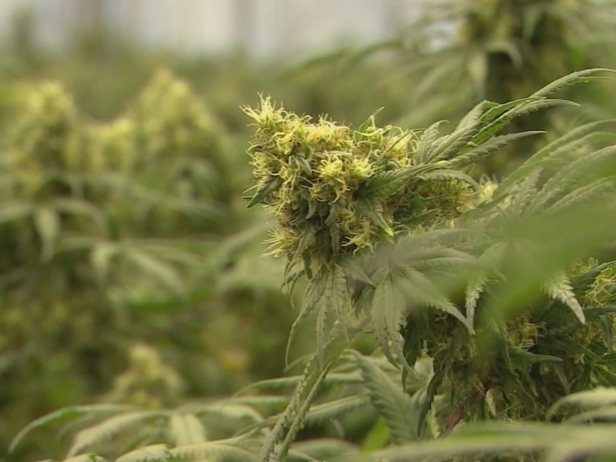 Medical marijuana dispensaries, growing center to provide economic impact, officials say