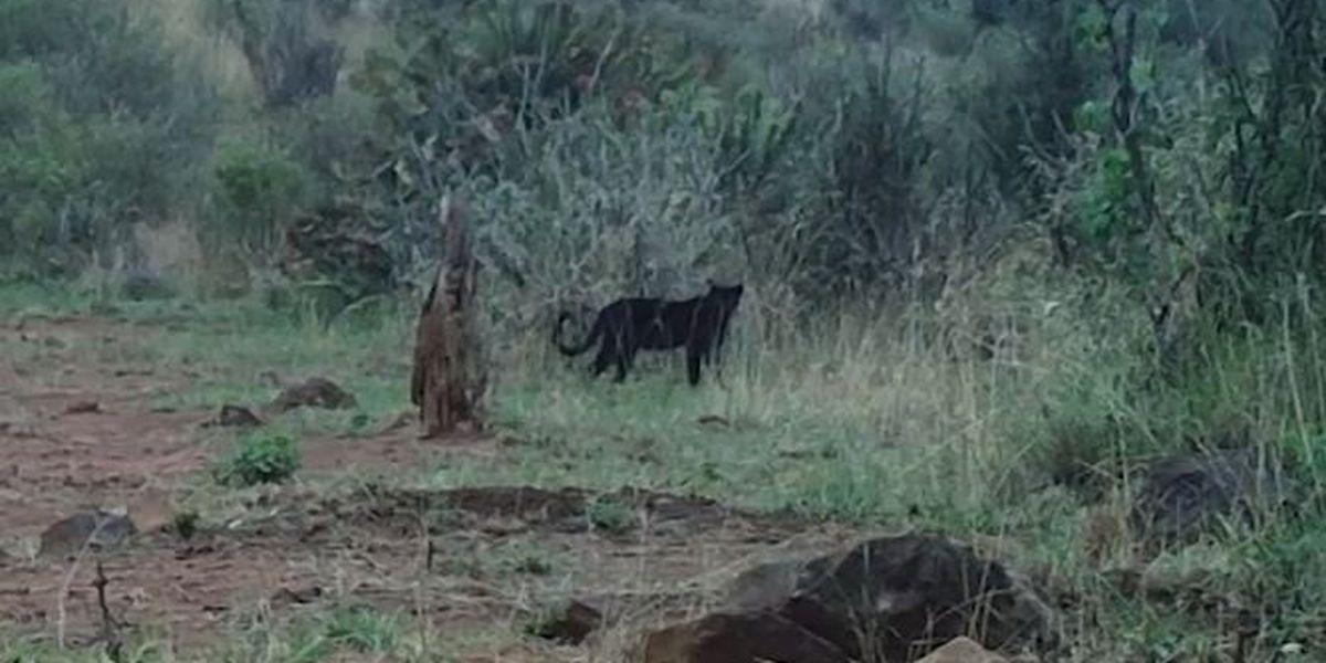 Rare African 'black panther' captured on camera in Kenya