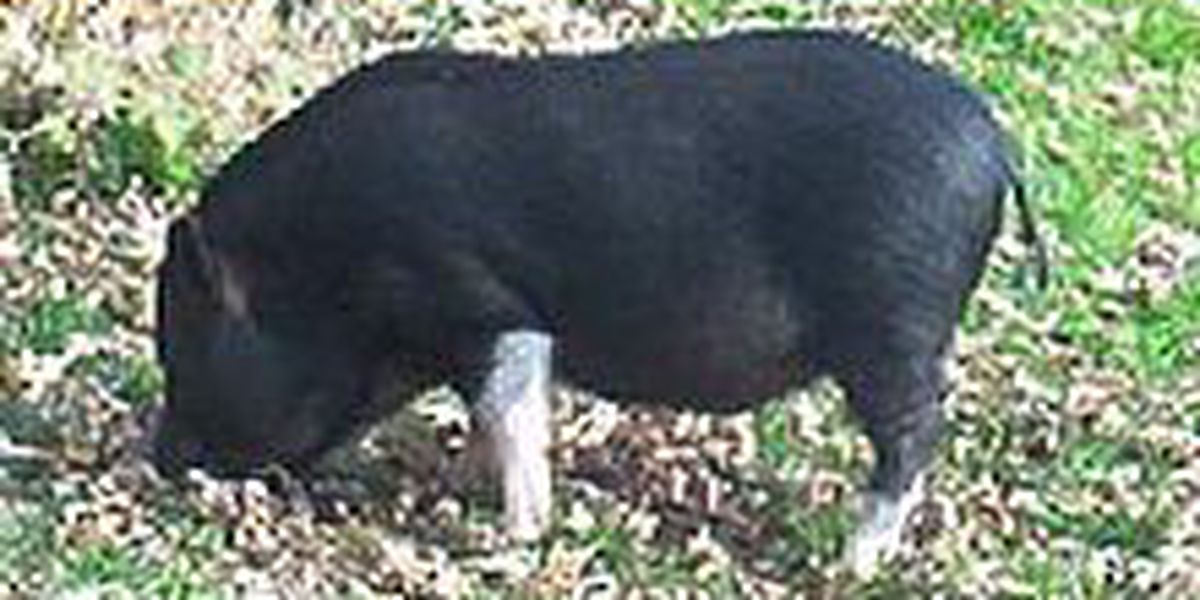 Arkansas city officials to draft ordinance banning pigs