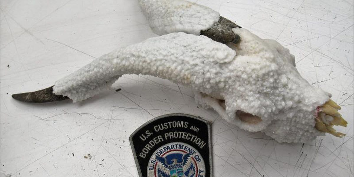 Customs discovers caprine skull shipped to facility in Memphis