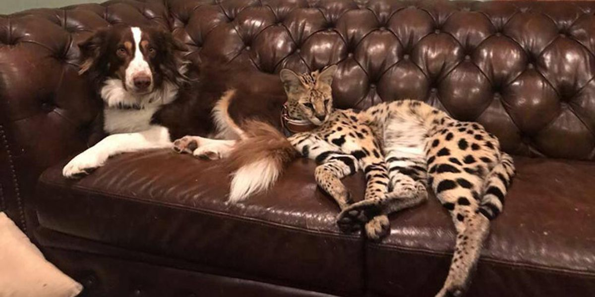 Exotic African pet cat is on the loose in Virginia