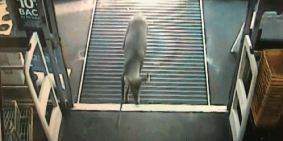 'It was wild': Deer gets loose in Best Buy
