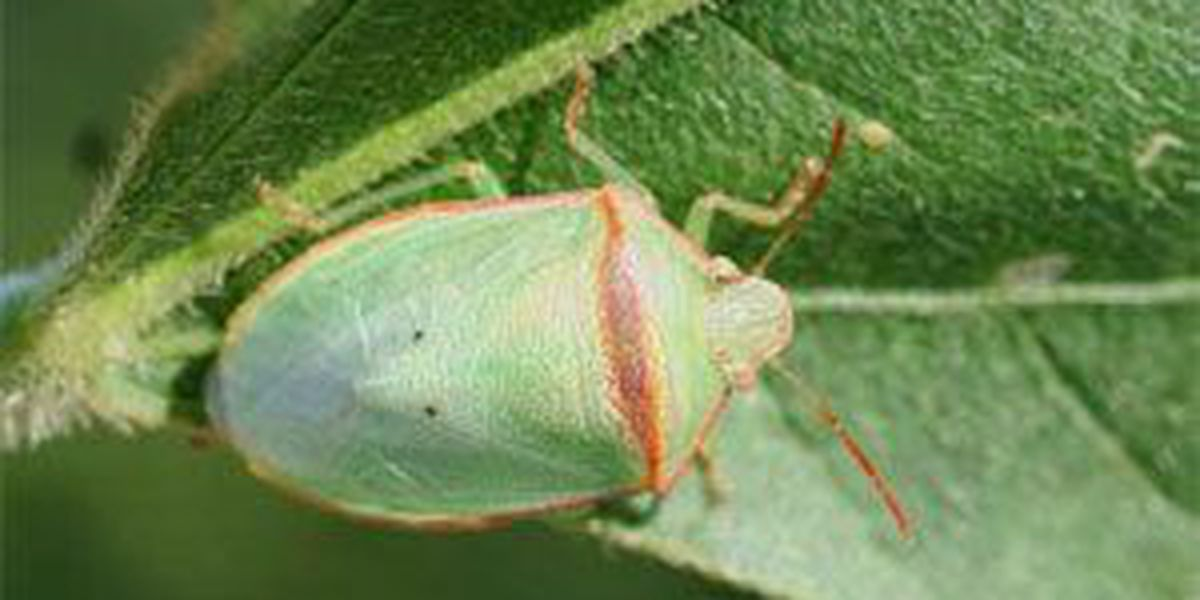 Invasive stink bugs plaguing soybean farmers in 3 states