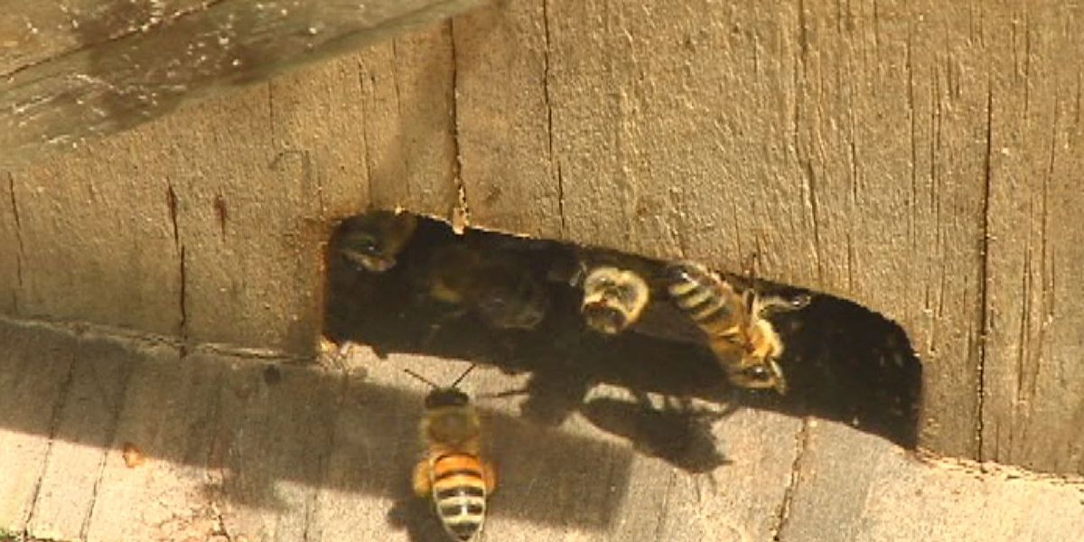 Group hoping to slow decline of bee population