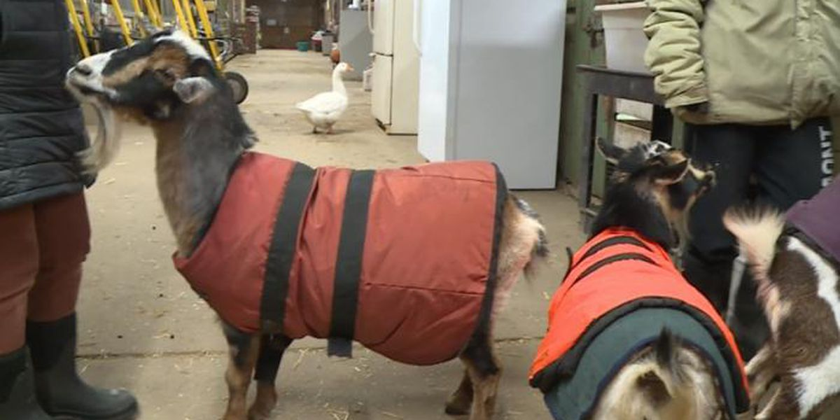 Goats with Coats: Protecting farm animals in severe cold